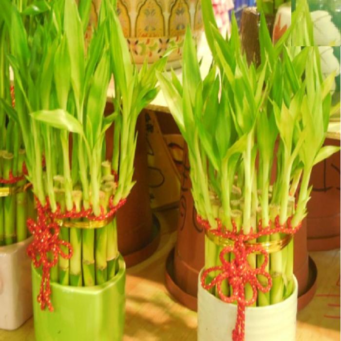 бамбук 700.png